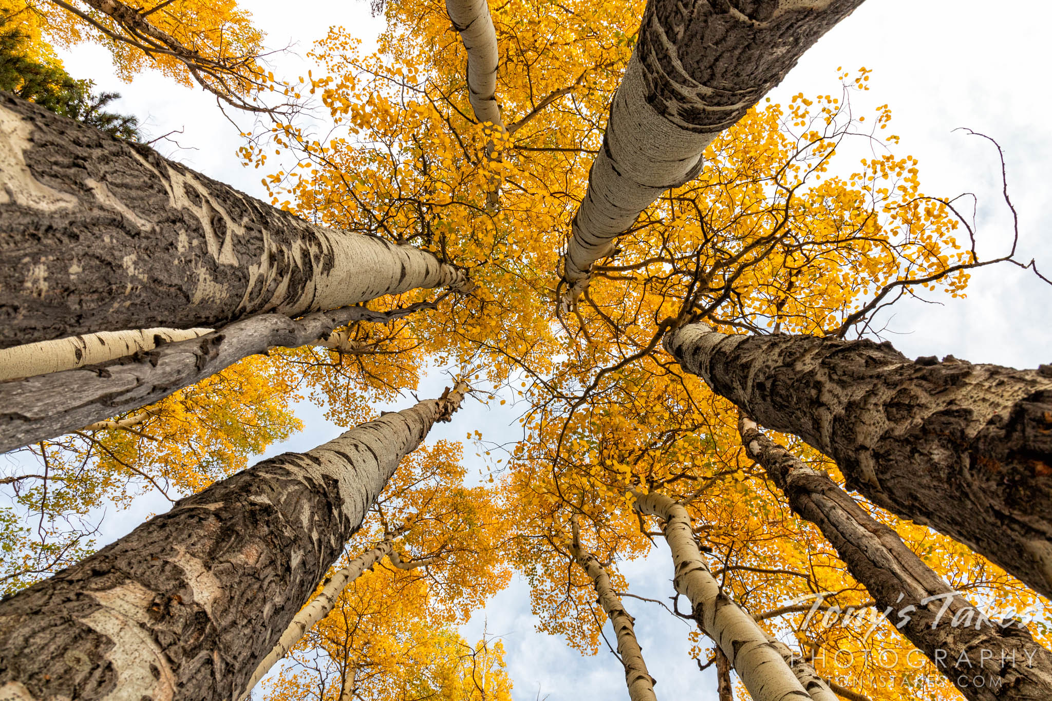 Towering aspen for fall foliage Friday