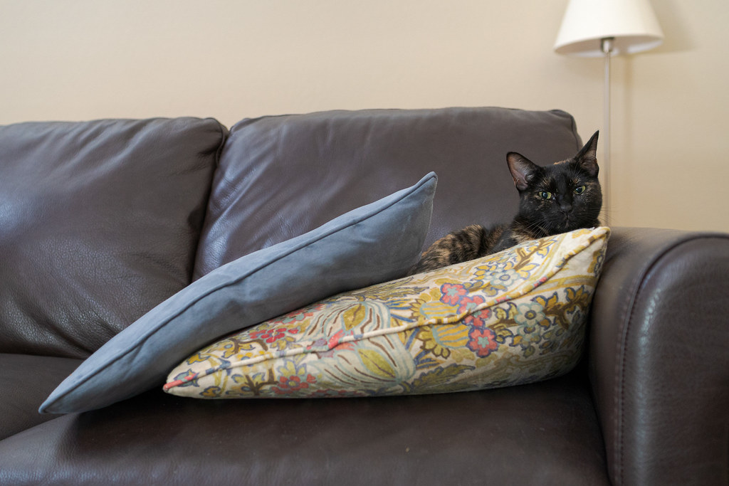 Our cat Trixie rests atop a pillow on the leather couch on September 15, 2020. Original: _CAM5195.arw