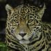 "<p><a href=""https://www.flickr.com/people/154721682@N04/"">Joseph Deems</a> posted a photo:</p>  <p><a href=""https://www.flickr.com/photos/154721682@N04/50420299472/"" title=""Jaguar""><img src=""https://live.staticflickr.com/65535/50420299472_2def29f2b5_m.jpg"" width=""233"" height=""240"" alt=""Jaguar"" /></a></p>  <p>Fort Worth Zoo</p>"