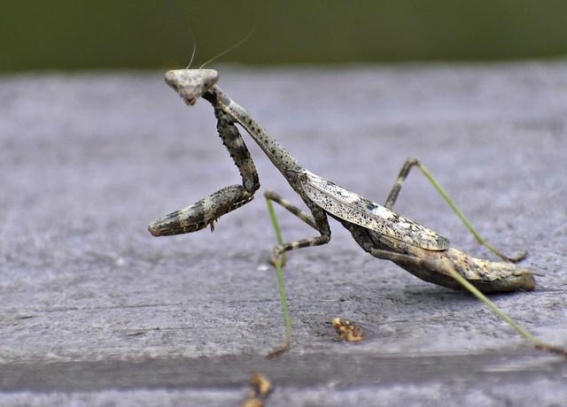 Mantis On Wood