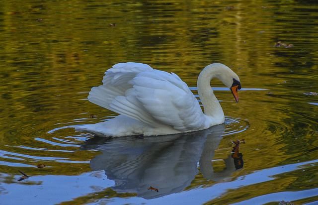 Swan in the autumn lake