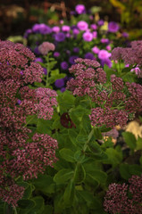 Sedum with Asters