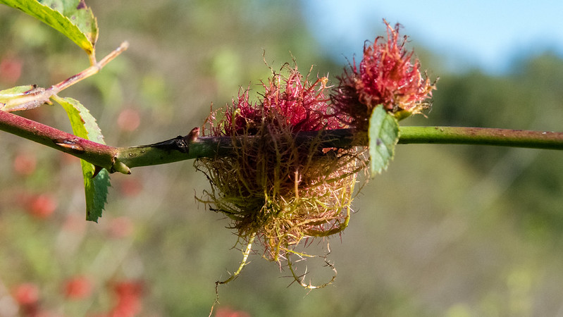 Colours of autumn: robin's pincushion
