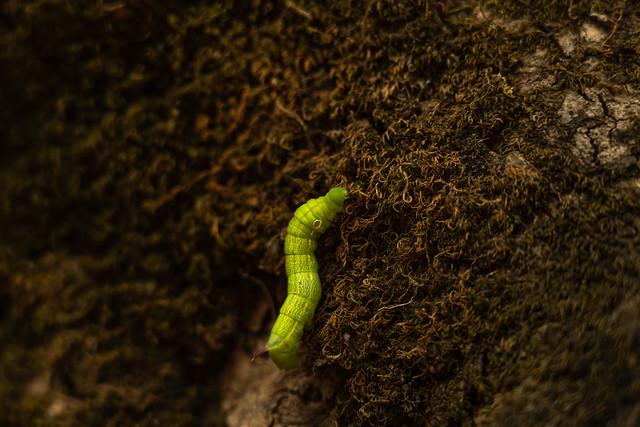 Hungry Caterpillar (Explore)