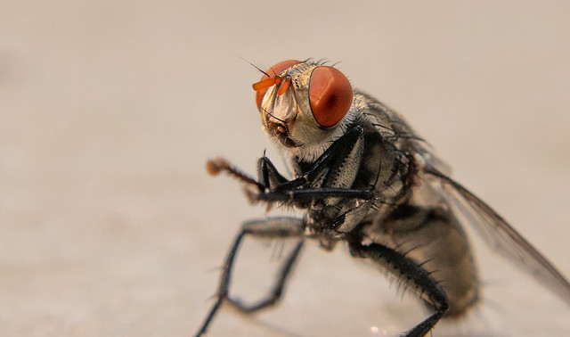 Dancing Housefly