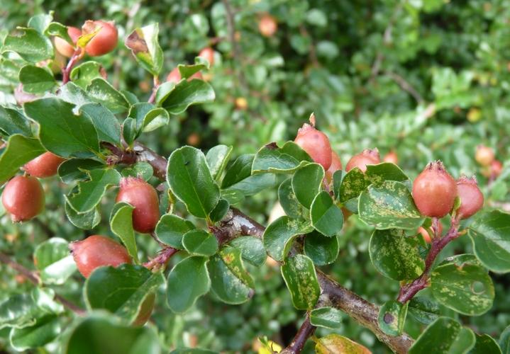 Cotoneaster apiculatus 50421893281_61b873cfc7_o