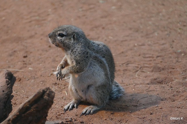 07-Kap-Borstenhörnchen