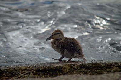 Little duckling for a walk