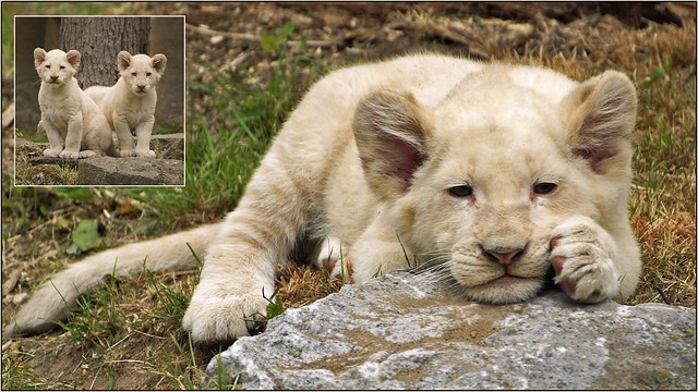 Daydreaming white lion cub