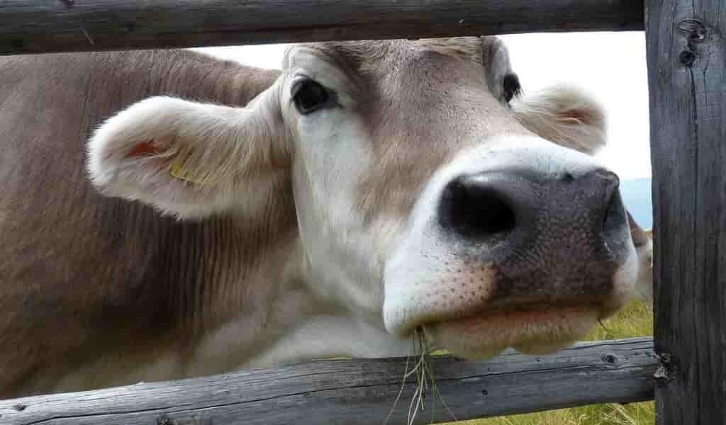 CRISPR-permet-aux-bovin-de-résister-au-changement-climatique