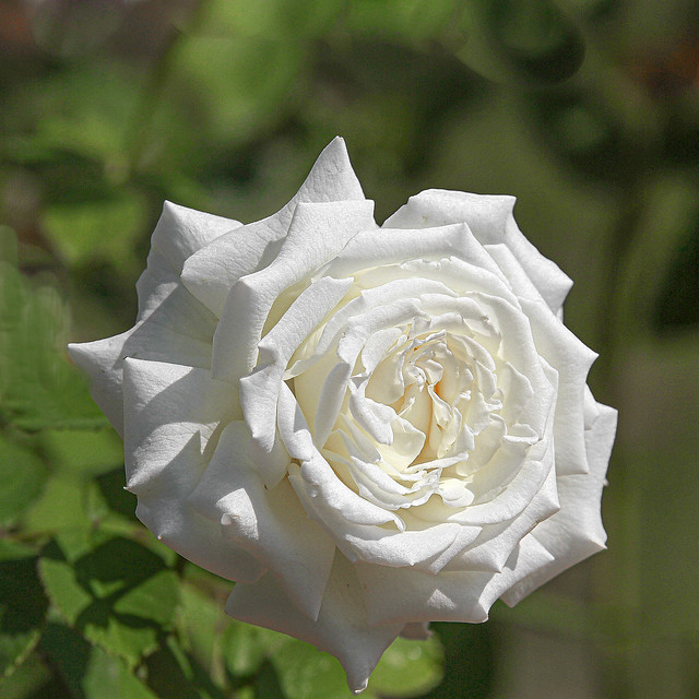 Pope John Paul - White Rose IMG_0026-2