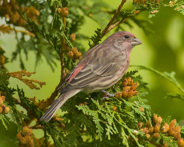 Male House Finch perched on a Cedar tree