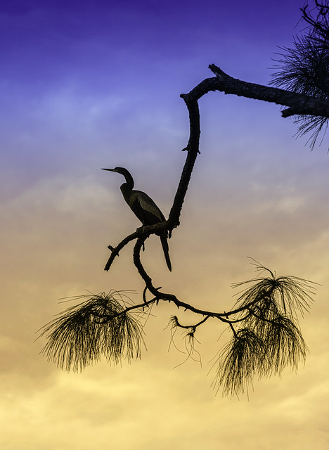Out on a Limb: Anhinga Watches the Sunset