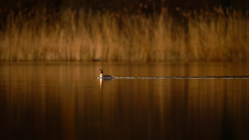 grebe wildlife bird photography jonathan casey sunrise norfolk broads ormesby nikon d850 400mm f28 vr s5