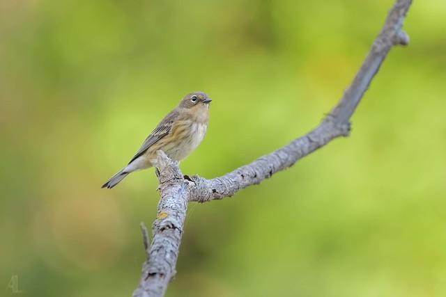 Paruline à croupion jaune // Yellow-rumped Warbler