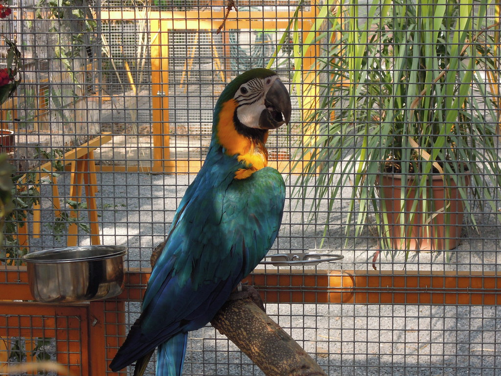 nature_bird_parrot_macaw_blue_and_gold_26
