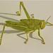 38.Grasshopper Malta