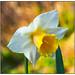 36.Nodding Daffodil