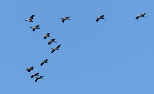 The common crane (Grus grus)