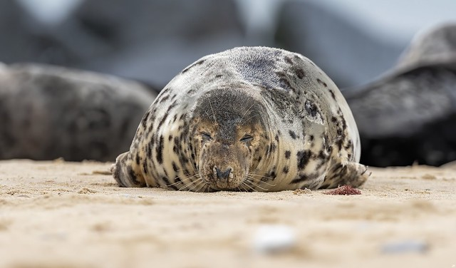Common Seal, Horsey Gap.