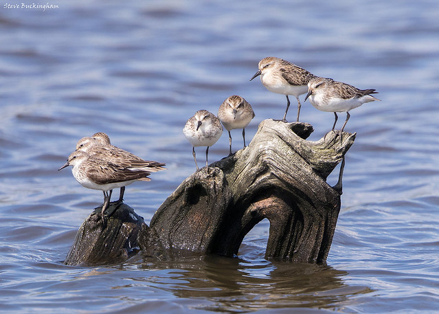 Semi-palmated Sandpipers
