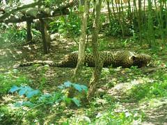 Léopard de Sri-Lanka_2012_07_25_Doue la Fontaine_100_1685