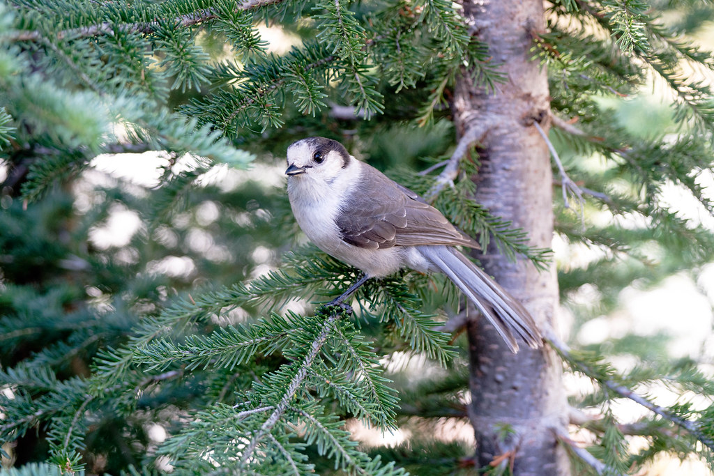 Grey Jay (1 of 1)