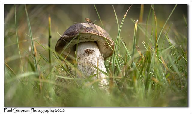 Flies on a Mushroom