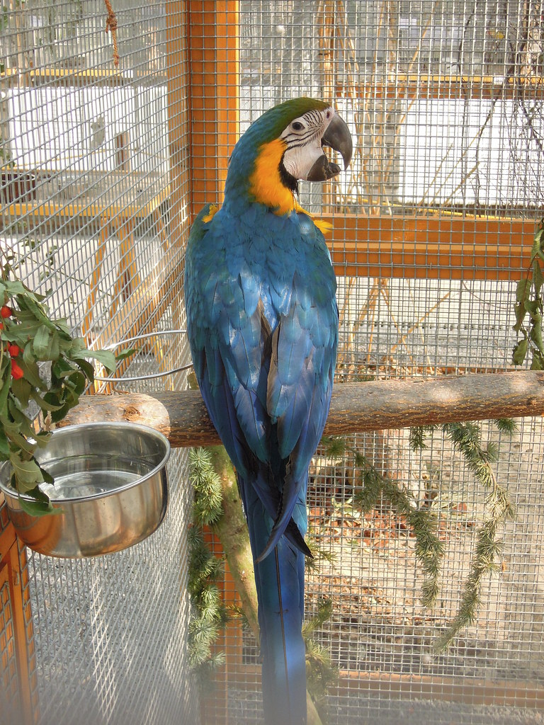 nature_bird_parrot_macaw_blue_and_gold_27