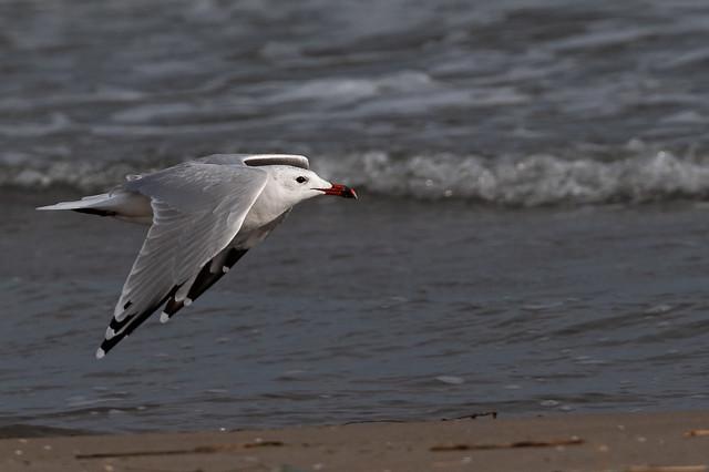 Gavina corsa - Gaviota de Audouin - Audouin's gull - Goéland d'Audouin - Larus audouinii