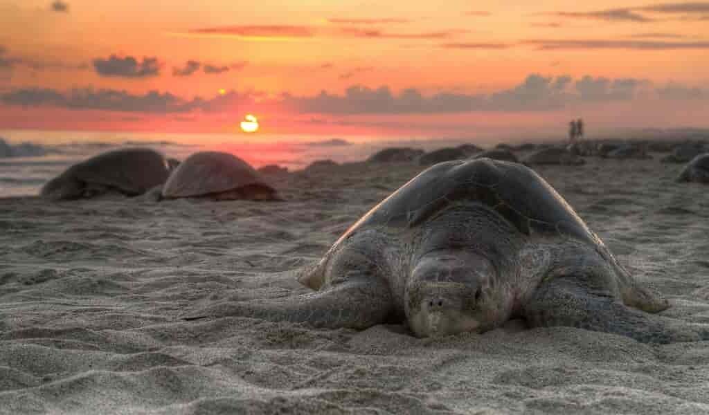 les-nids-des-tortues-des-mers-sont-la-cible-des-braconniers
