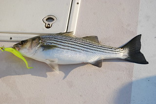 Photo of a nice-sized striped bass