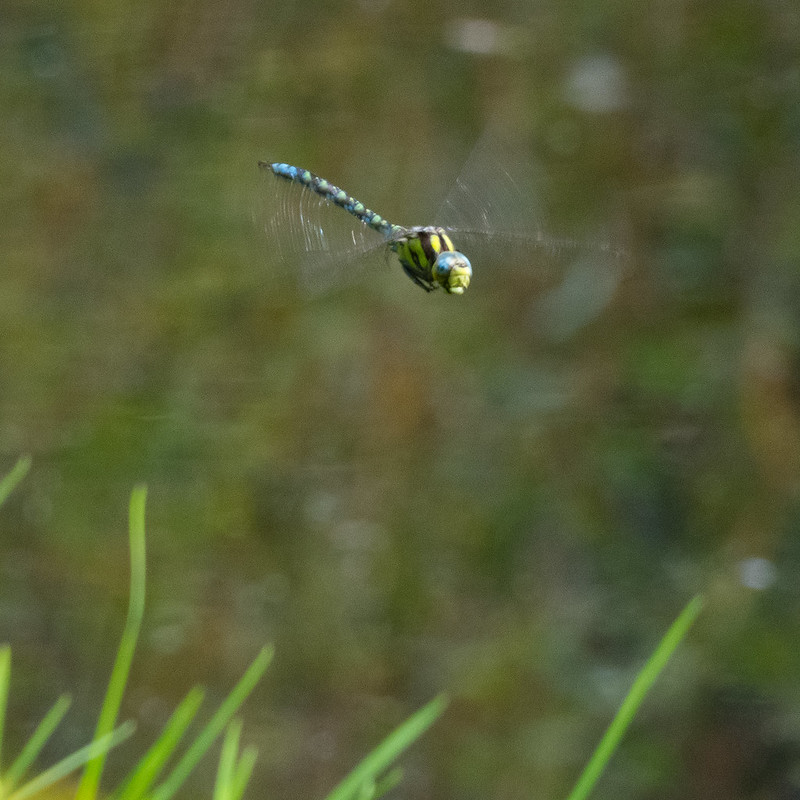 Southern hawker dragonfly, flying