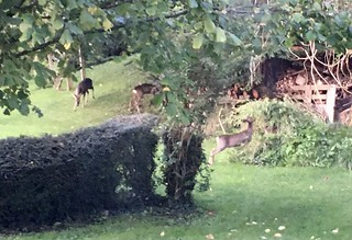 Blurry photo of three deer eating grass and plants in a garden