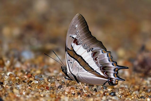 Polyura schreiber - the Blue Nawab