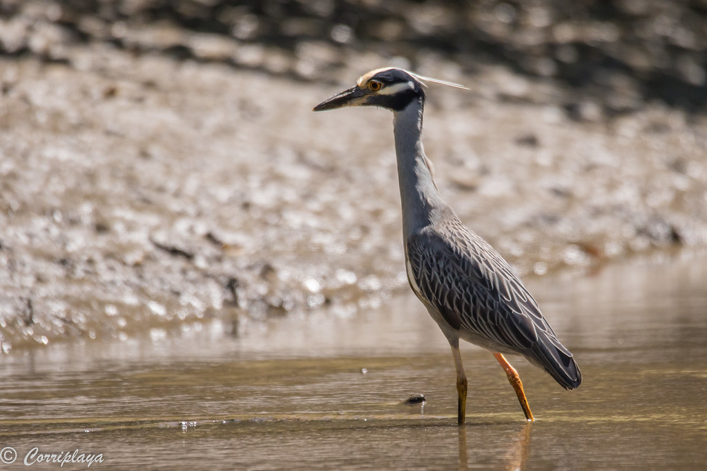 Martinete coronado, Nyctanassa violacea, Yellow-crowned night-heron
