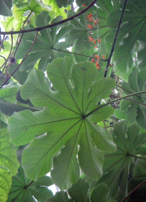 Cecropia obtusifolia 50426723406_155a265b9d_o