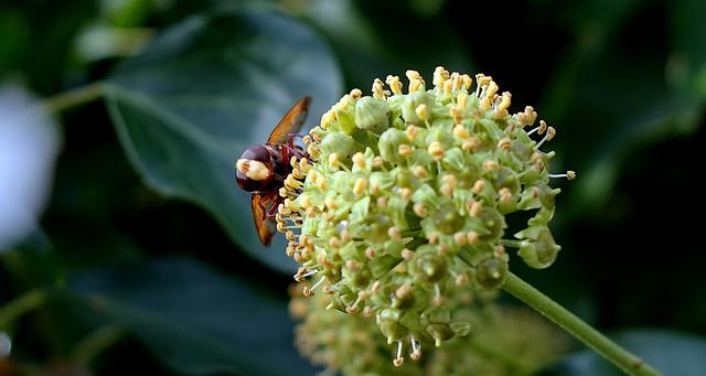 Die Hornissenschwebfliege (Volucella zonaria)  2