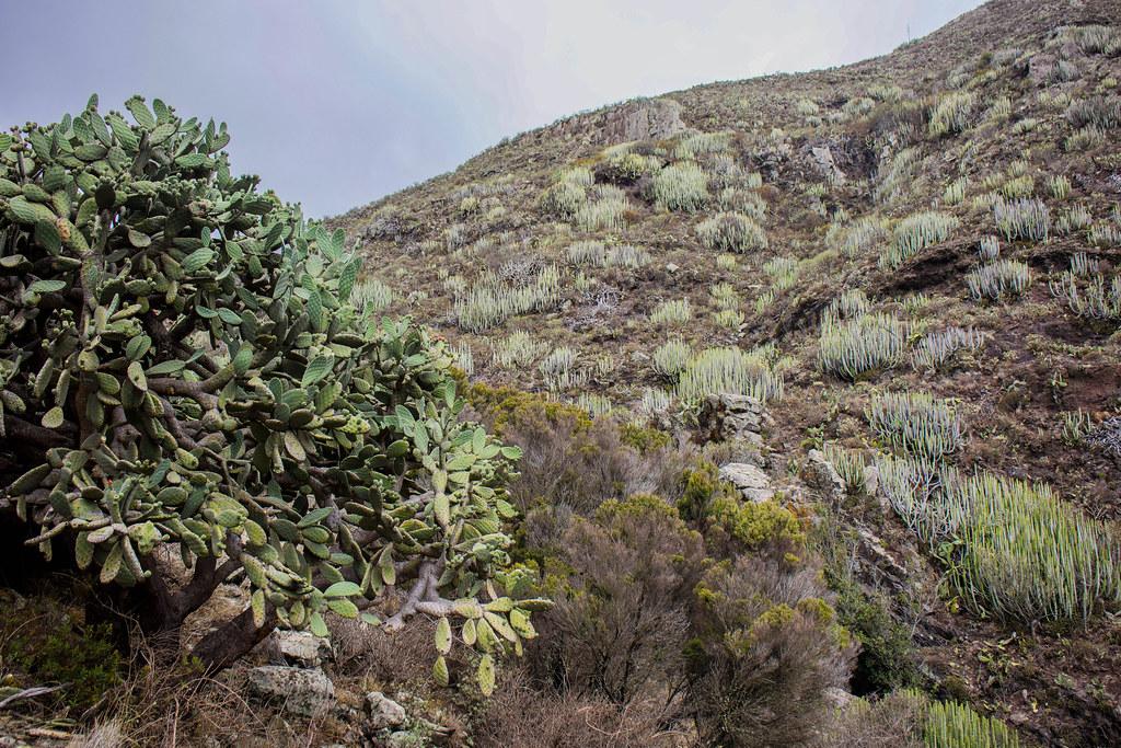 Chumbera en el interior del barranco de Antequera
