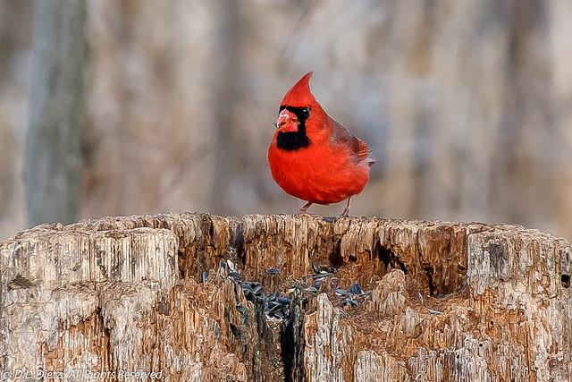 Northern Cardinal - 2019-03-09.