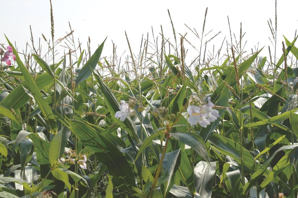 Corn field over the river from Preston