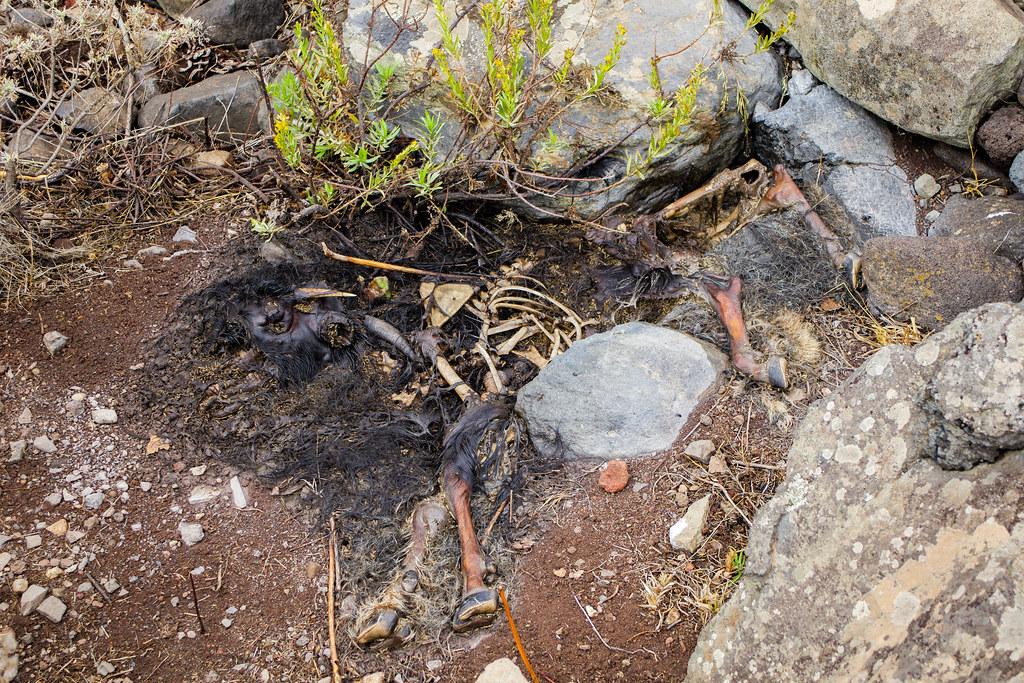Cabra muerta en el barranco de Antequera en Tenerife