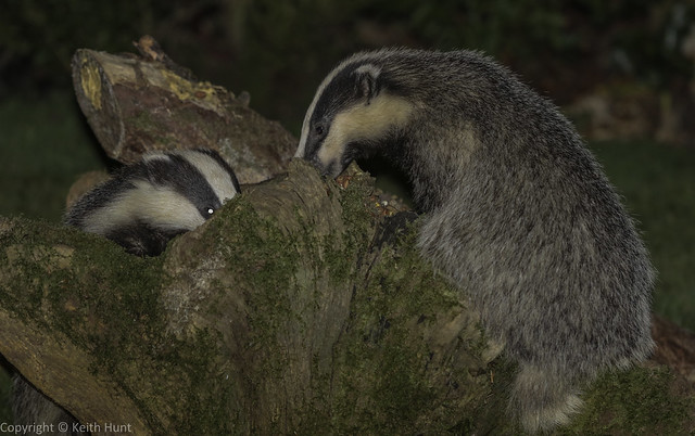 National Badger Day - Badgers peanut snuffling in my garden (J) (Meles meles) 2 clicks for zoom