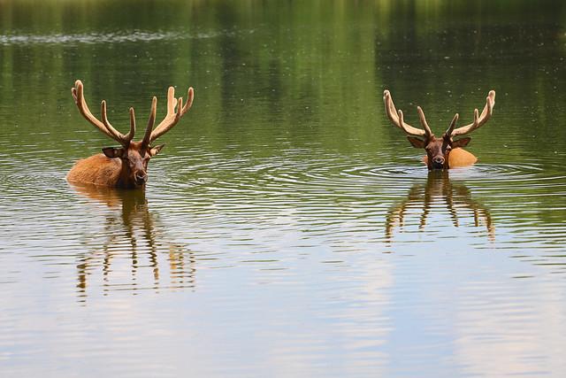 Elk Swim