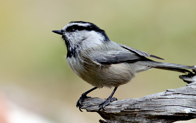 Mountain Chickadee -- Juvenile (Poecile gambeli); Santa Fe National Forest NM, Thompson Ridge [Lou Feltz]