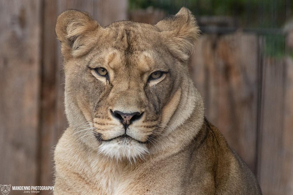 Barbary Lioness - Neuwied Zoo - Germany