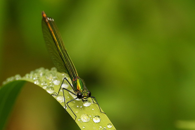 female Banded Demoiselle at Titchfield Canal, Hampshire