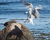 Bird approaching for landing | September 2, 2019 | Fehmarn - Schleswig-Holstein - Germany