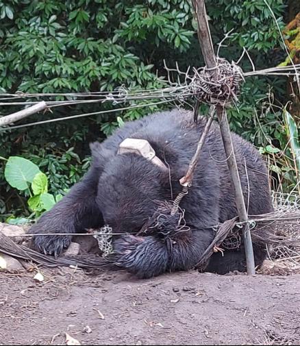 台中東卯山受困黑熊。東勢林管處提供