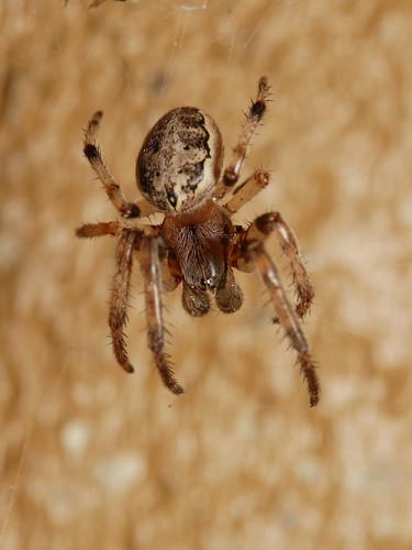 arthropoda arachnida araneae araneomorphae araneidae larinioides larinioidescornutus furroworbweaver tennessee roanmountain inaturalist canonef100mmf28macrousm arachtober